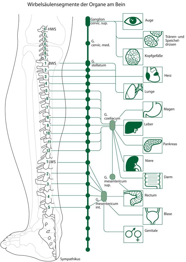 Wirbelsäulensegmente der Organe am Bein